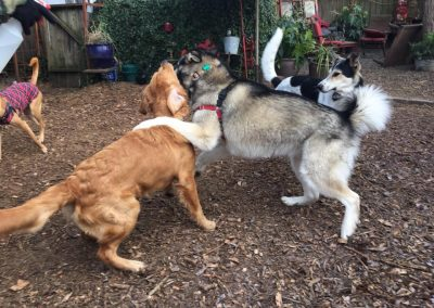babalus-playhouse-doggy-daycare528